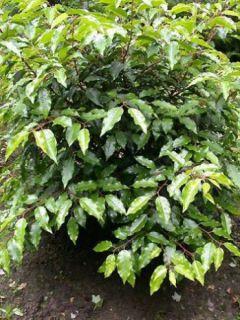 Laurier du Portugal - Prunus lusitanica