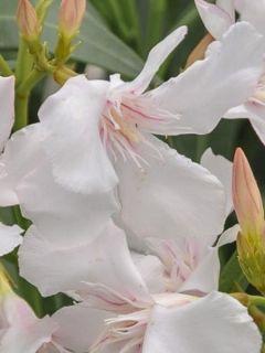 Laurier rose Alsace - Nerium oleander