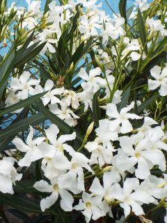 Laurier rose à fleurs blanches