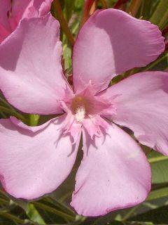 Laurier rose Emilie - Nerium oleander