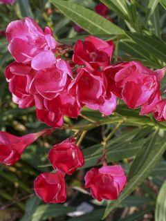 Laurier rose Jannoch - Nerium oleander