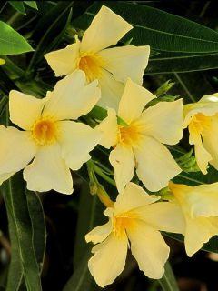 Laurier rose à fleurs jaunes