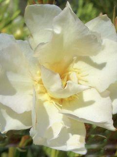 Laurier rose 'Luteum Plenum'
