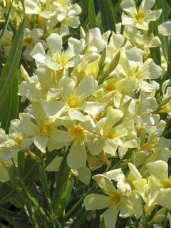 Laurier rose Marie Gambetta - Nerium oleander