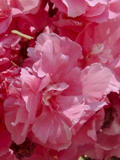 Laurier rose Roseum Plenum - Nerium oleander