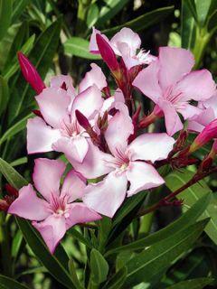 Laurier rose - Nerium oleander pot de 3L