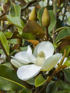 Laurier-tulipier 'Bracken's Brown Beauty'