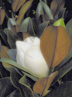 Laurier-tulipier 'D.d. blanchard '