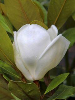 Magnolia grandiflora Treyve