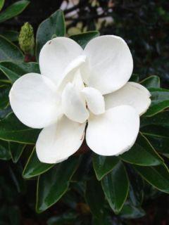 Magnolia grandiflora Little Gem - Laurier-tulipier nain.
