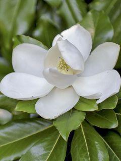 Magnolia grandiflora Purpan
