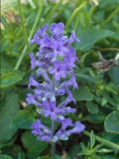 Lavande vraie Middachten - Lavandula angustifolia Middachten