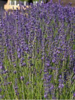 Lavandula angustifolia Twickel Purple - Lavande officinale