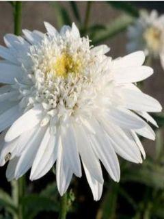 Leucanthemum superbum Christine Hagemann - grande marguerite