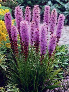 Plume du Kansas, Liatris spicata Floristan Violet
