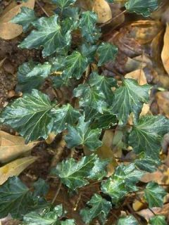 Lierre commun - Hedera helix Ivalace