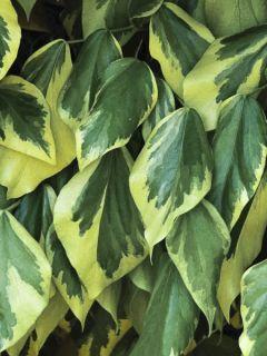 Lierre de Colchide 'Dentata Aurea'