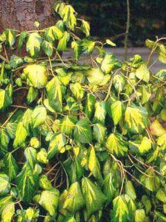 Lierre de Colchide - Hedera colchica Sulphur Heart