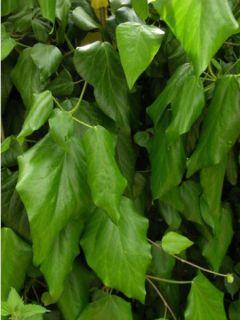Lierre de Colchide - Hedera colchica