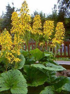Ligularia Gregynog Gold - Ligulaire orange doré