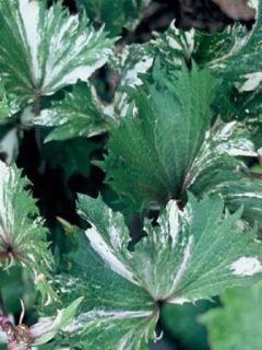 Ligularia Osiris Fantasia® - Ligulaire hybride.