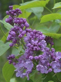Lilas à fleurs de jacinthe Maiden's Blush - Syringa (x) hyacinthiflora