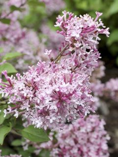 Lilas Bloomerang Pink Perfume - Syringa nain hybride remontant