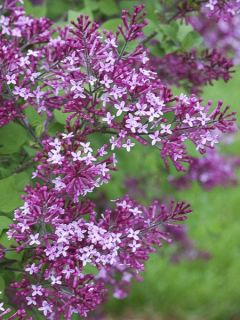 Syringa Bloomerang Dark Purple - Lilas nain hybride remontant