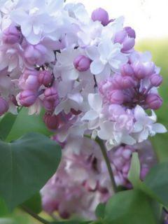 Lilas - Syringa vulgaris Belle de Moscou