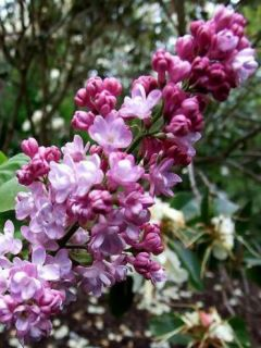 Lilas - Syringa vulgaris Belle de Nancy