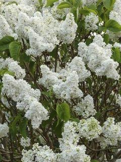 Lilas - Syringa vulgaris Dentelle d'Anjou