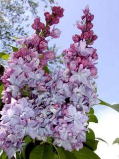 Lilas - Syringa vulgaris Katherine Havemeyer
