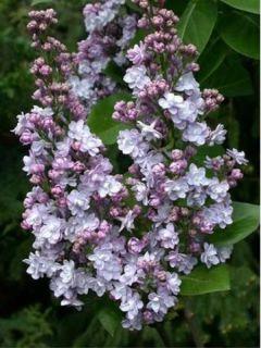 Lilas - Syringa vulgaris Michel Buchner