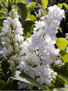 Lilas - Syringa vulgaris Madame Lemoine