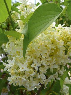 Lilas - Syringa vulgaris Primrose