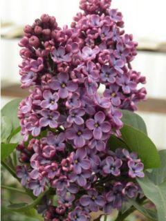 Lilas - Syringa vulgaris Souvenir de Louis Spaeth