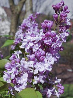 Lilas - Syringa vulgaris Zhemchuzhina
