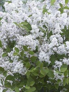 Lilas de Chine 'Flowerfesta White'
