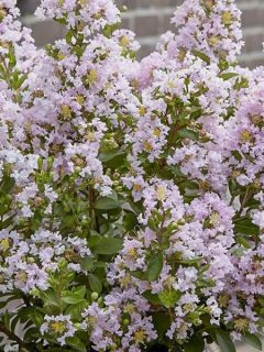 Lilas des Indes 'Babe With Love'