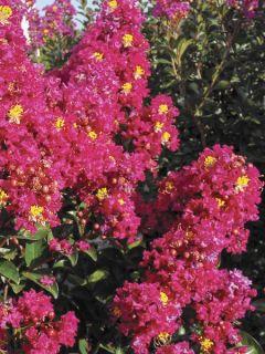 Lilas des Indes 'Berry Dazzle'