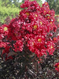Lilas des Indes 'Black Solitaire Best Red'