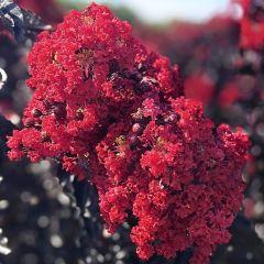 Lilas des Indes 'Black Solitaire Crimson Red'
