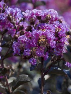 Lilas des Indes 'Black Solitaire Lavender Lace'