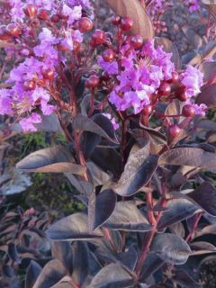 Lilas des Indes 'Black Solitaire Shell Pink'