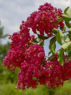Lilas des Indes 'Caroline'