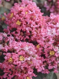 Lagerstroemia indica Coral Magic - Lilas des Indes