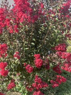 Lagerstroemia indica Dynamite - Lilas des Indes rouge