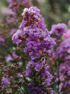 Lilas des Indes 'Enduring Lavender'