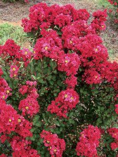 Lilas des Indes 'Enduring Red'