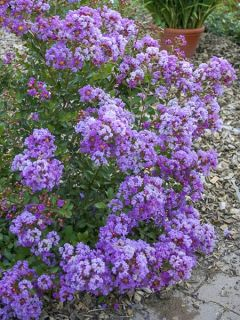 Lilas des Indes 'Eternal With Love'